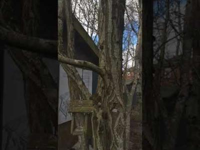 Mountain Ash (with birdhouse)